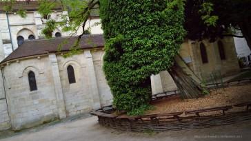 Paris 05 – Le plus vieil arbre de Paris